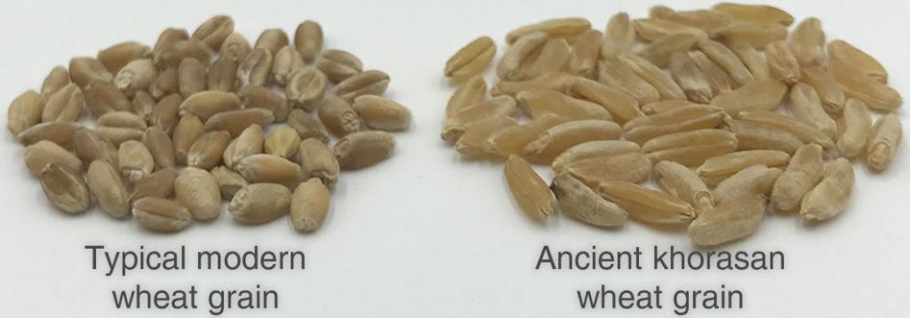 plantpills kamut khorasan wheatgrass juice grain