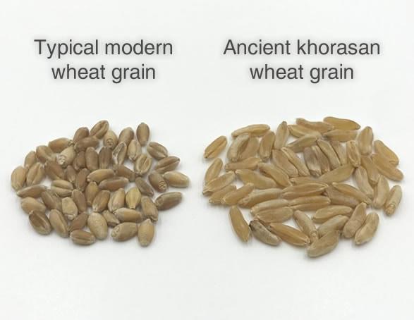 PlantPills Kamut® Khorasan Ancient Wheatgrass Grain